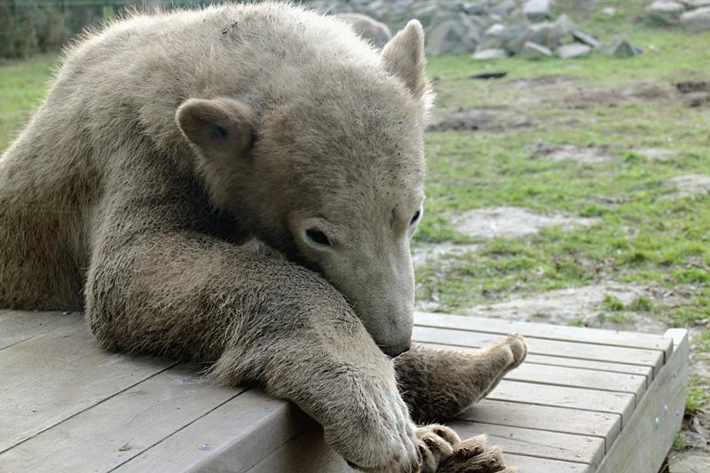 Noordje de jonge ijsbeer