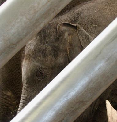 het jongste olifantje