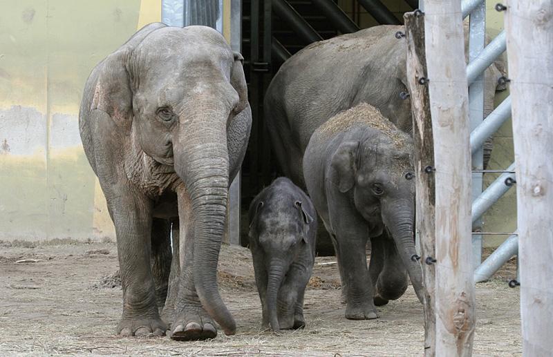 de nieuwe familie olifant