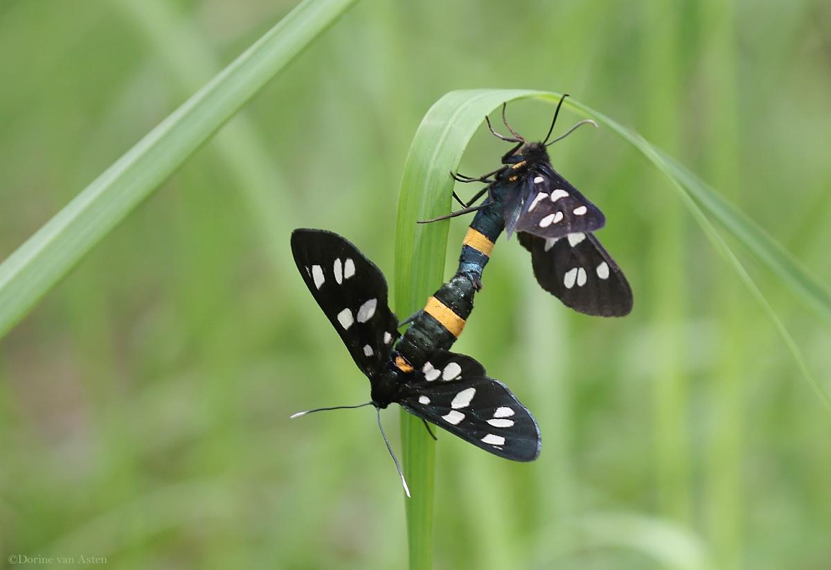 paring Phegeavlinder