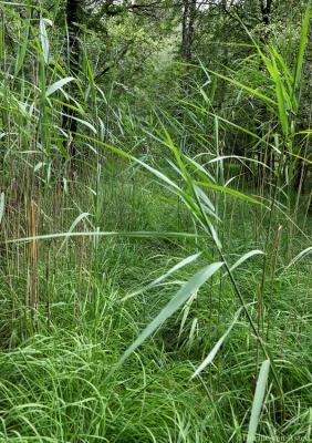 gras en riet op het pad