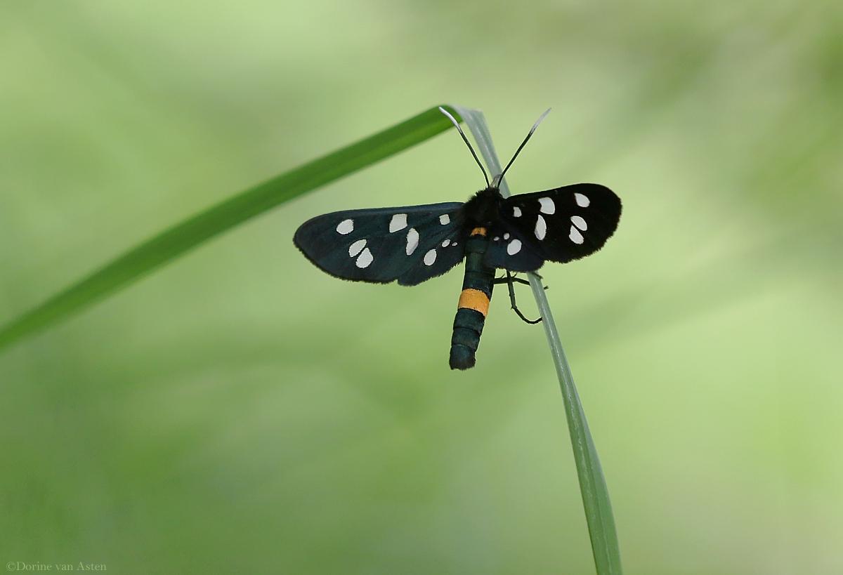 Phegeavlinder