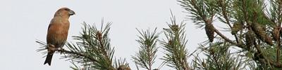 Grote kruisbek - Loxia pytyopsittacus